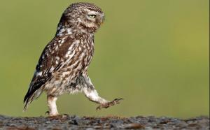 Kukumav Kuşu